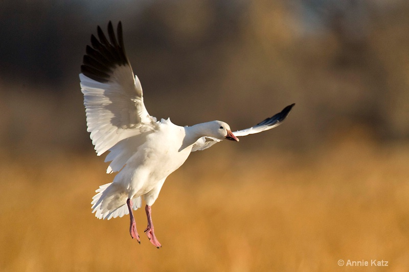 snow goose  1 - ID: 7805519 © Annie Katz