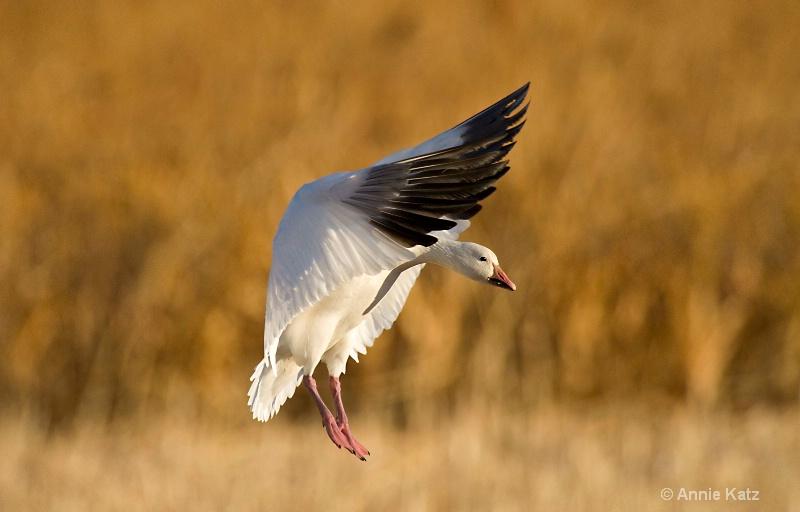 snow goose  4 - ID: 7805523 © Annie Katz