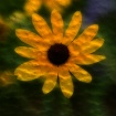 black eyed susan ...