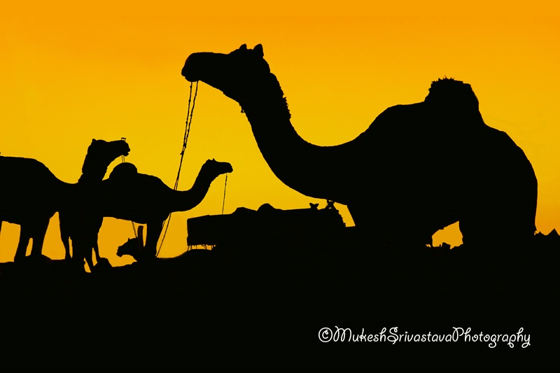 Arabian Camels
