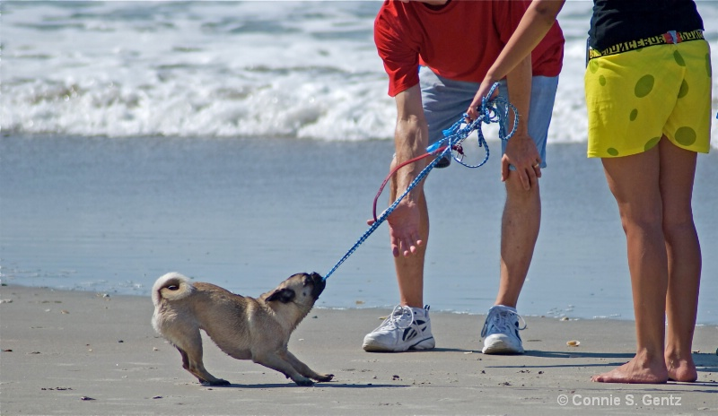 playful beach pug