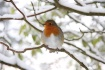 An Obliging Robin