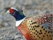 Pheasant Profile!