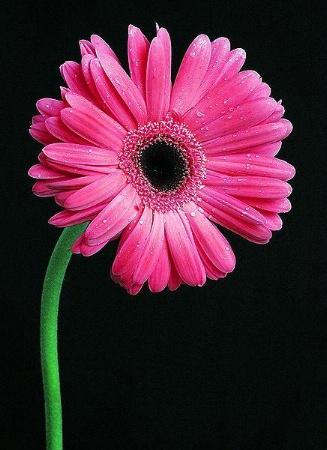 Pink Fusion