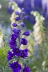 Delphiniums and F...