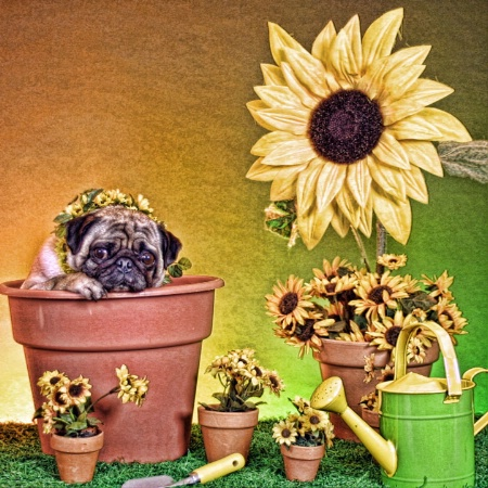 Sunflower or Pugflower?