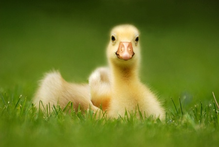 Spring Gosling