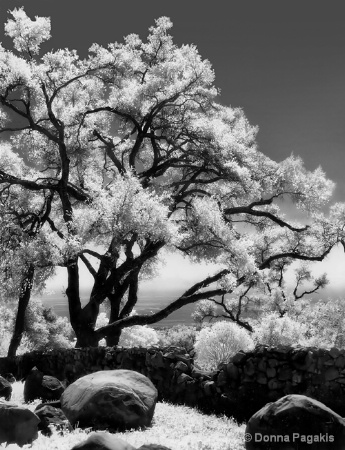 Magical Mystical Oaks...