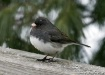 junco (note snowf...