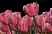 Backlit Pink Tuli...