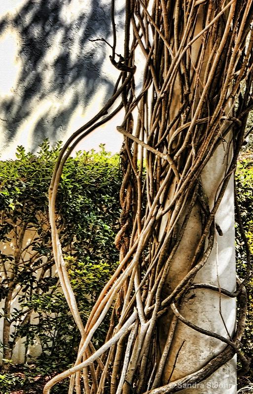 Shadow and Vine - ID: 7926945 © Sandra K. StJohn