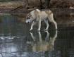 Wolf on Frozen La...