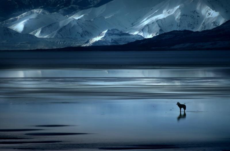 Coyote on Ice