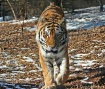 Tiger Approaching
