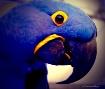 Hyacinth Parrot I