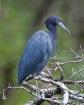 <b>Little Blue He...