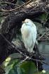 Young Egret