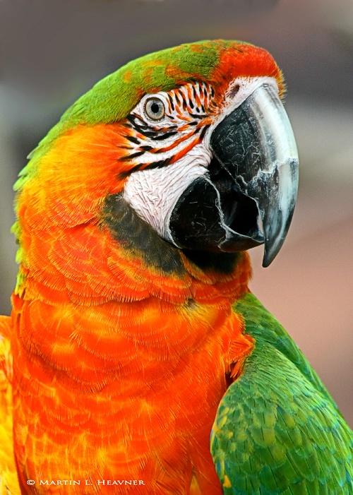 Catoctin Parrot - ID: 7951336 © Martin L. Heavner