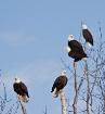 The eagle - thriv...