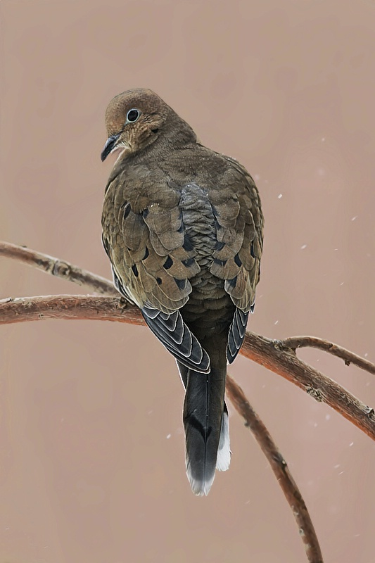 Mourning Dove - ID: 7958336 © Laurie Daily
