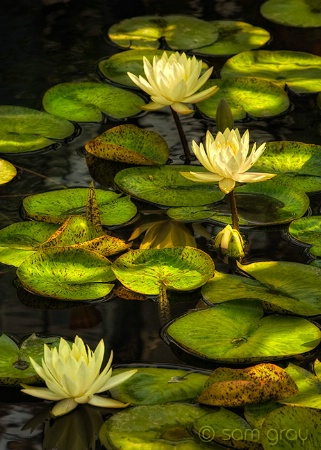 Sun Splashed Waterlilies