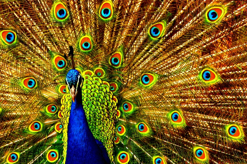 Peacock Finery