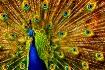 Peacock Finery