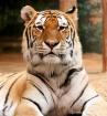 Tiger Eyed