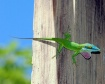 Colorful Anole