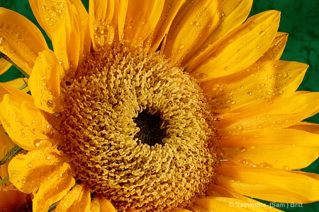 Sunflower Central