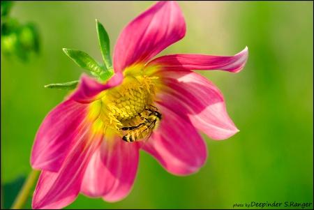 Bee on Dahlia-129