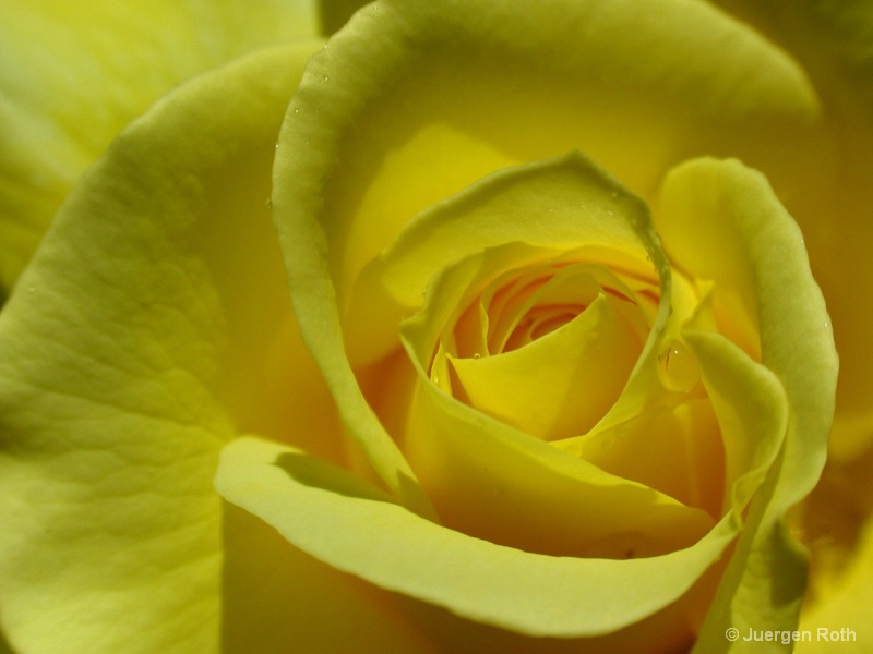NP-014: Yellow Rose - ID: 8022772 © Juergen Roth