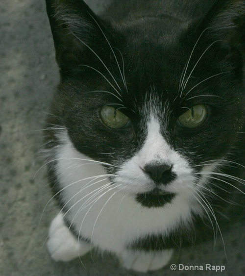 black & white cat - ID: 8023779 © Donna Rapp