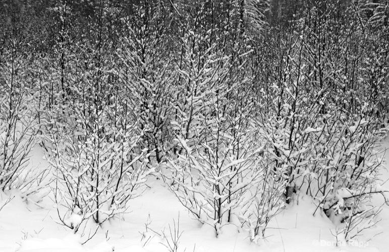 snow tree field - ID: 8028483 © Donna Rapp