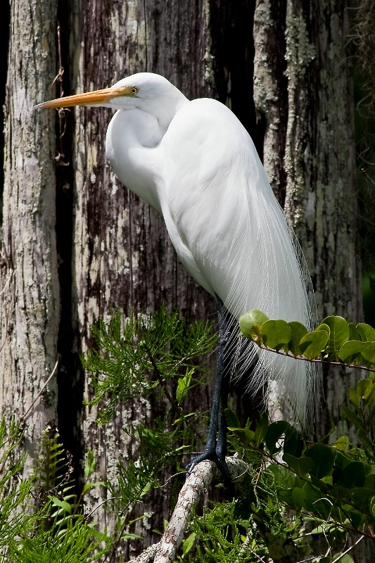 Great Egret - ID: 8046243 © Steve Abbett