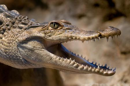 Gator close-up