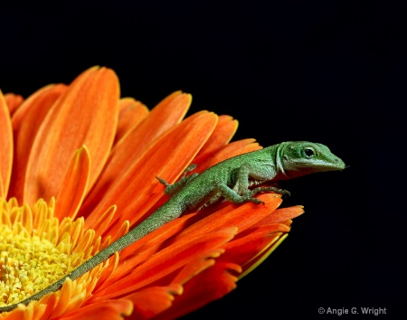 Lizard on daisy