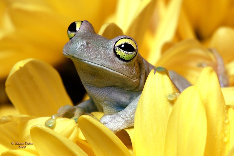 The Map Frog ~ Hyla Geographica