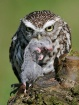 Little owl with p...