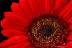 Stylish Gerbera