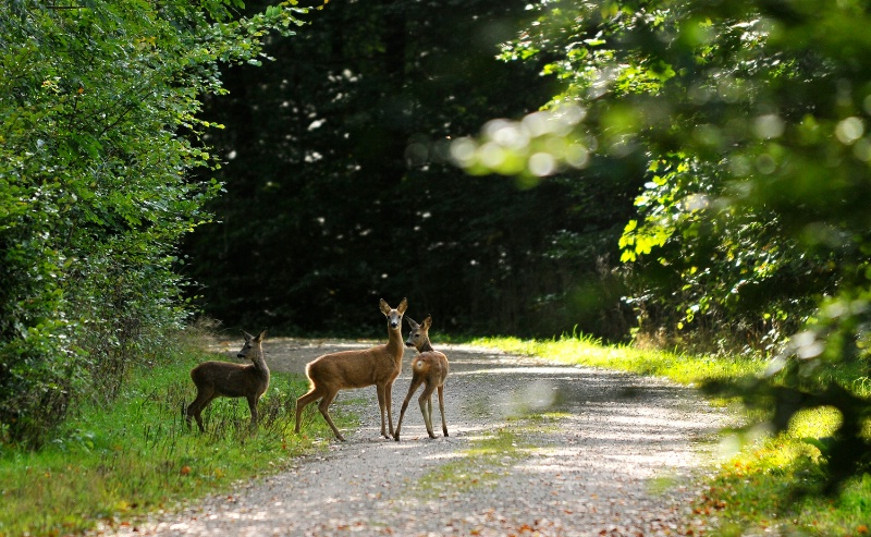 BAMBI  AND  CO.