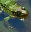Handsome Frog 2