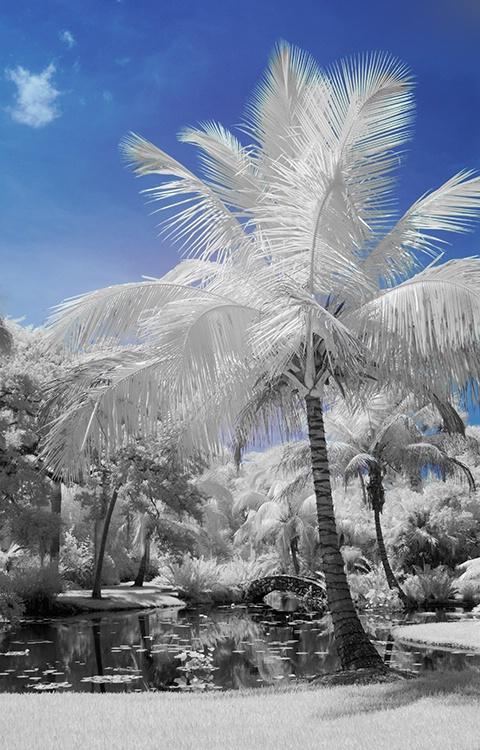 Florida Palms (McKee Gardens) Infrared