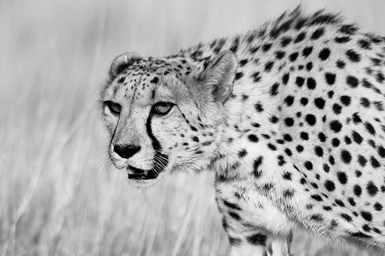 Cheetah (captive in Namibia) pseudo-infrared