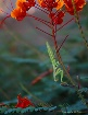 The Mantis Prays ...