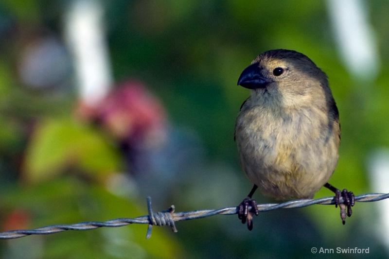 One of Darwin's 13 - ID: 8117331 © Ann E. Swinford