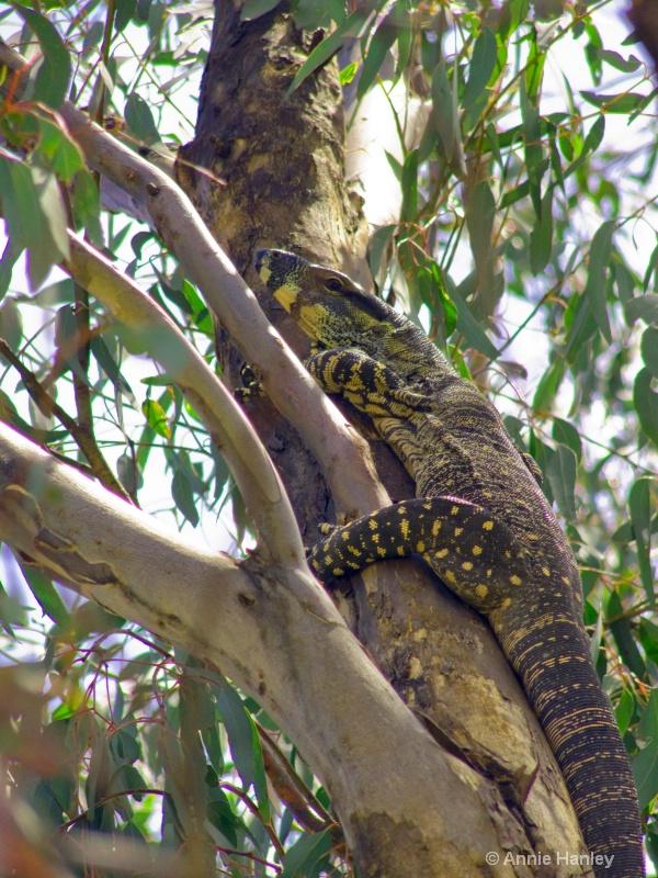 Lace Monitor or Goanna - ID: 8119282 © Ana Hanley