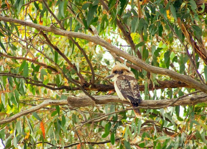Kookaburra, native Australian bird - ID: 8119284 © Ana Hanley