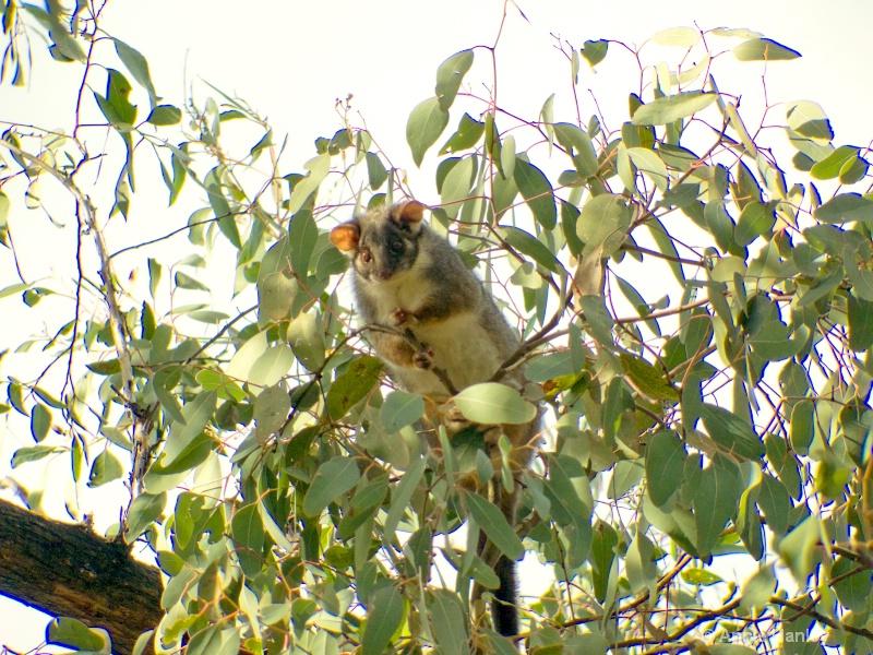 Ringtail Possum, native Australian animal - ID: 8119295 © Ana Hanley