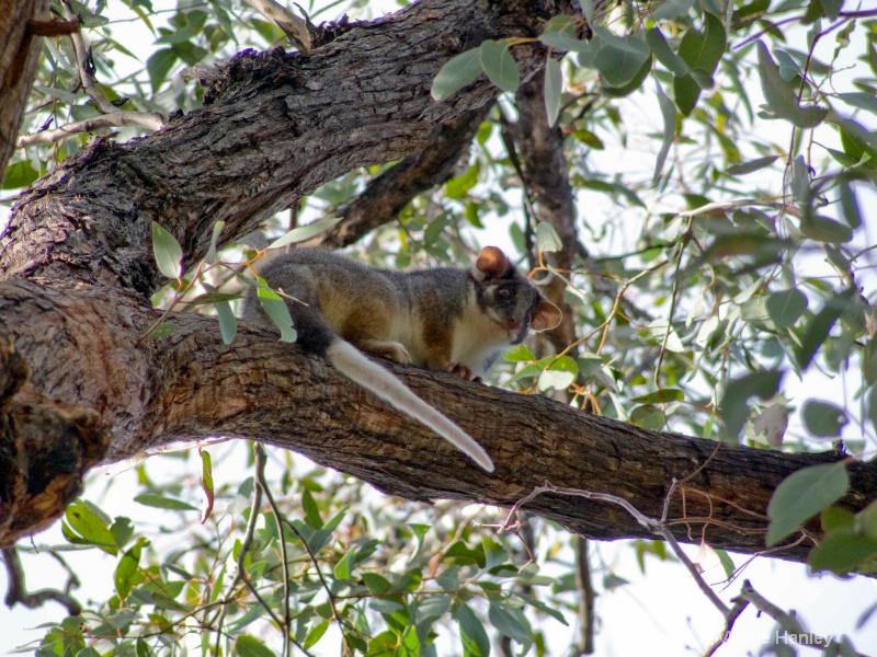 Ringtail Possum, native Australian animal - ID: 8119296 © Ana Hanley